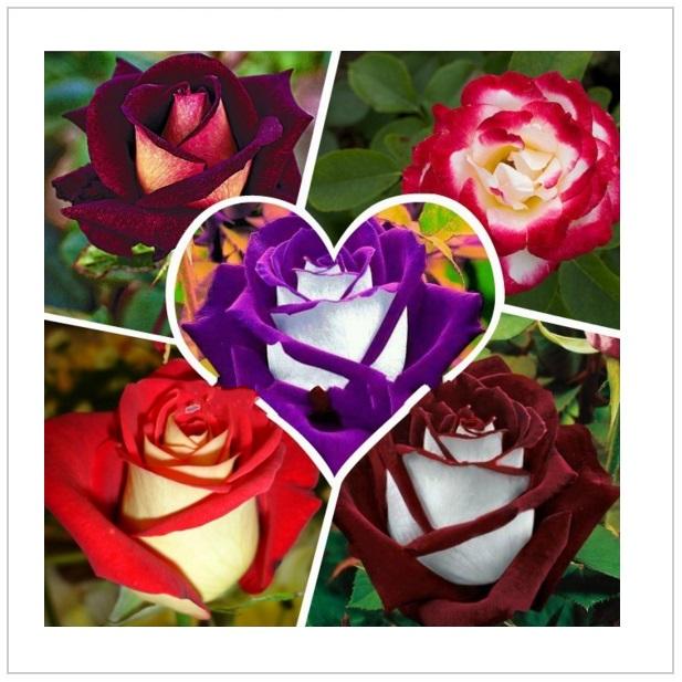 Semena růže (100 ks)